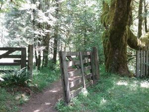 A wood gate stands next to a dirt path under tall trees
